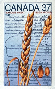 Marquis Wheat: A History of Wheat Developed to Grow in Canada